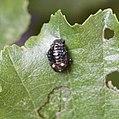 Leaf beetle pupa - Flickr - S. Rae.jpg