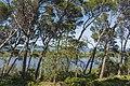 Leaning pine trees in Sainte-Lucie Island, Aude 02.jpg