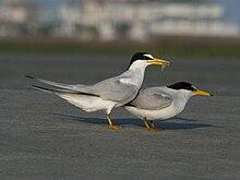 Least Tern (Sternula antillarum) RWD1.jpg