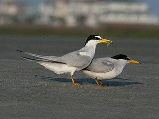 Least tern Species of bird