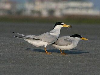 Least tern - Image: Least Tern (Sternula antillarum) RWD1