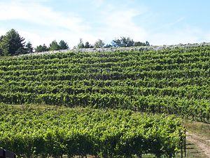 Michigan wine - Vineyard on the Leelanau Peninsula