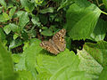 Lemon Pansy (Junonia lemonias) at Madhurawada 03.JPG