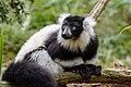 Lemur (26992486838).jpg