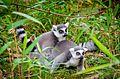Lemur (30931098444).jpg