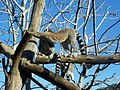 Lemur catta in Jerusalem Biblical Zoo.JPG
