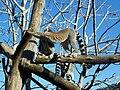 Lemur catta in Jerusalem Biblical Zoo.JPG