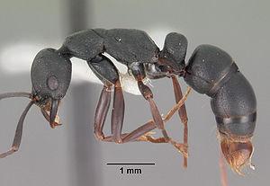 Präparierte Leptogenys maxillosa-Arbeiterin