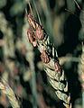 Les Plantes Cultivades. Cereals. Imatge 1838.jpg