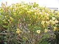 Leucadendron discolor 01.jpg