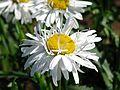 Leucanthemum 'Crazy Daisy' 03.jpg
