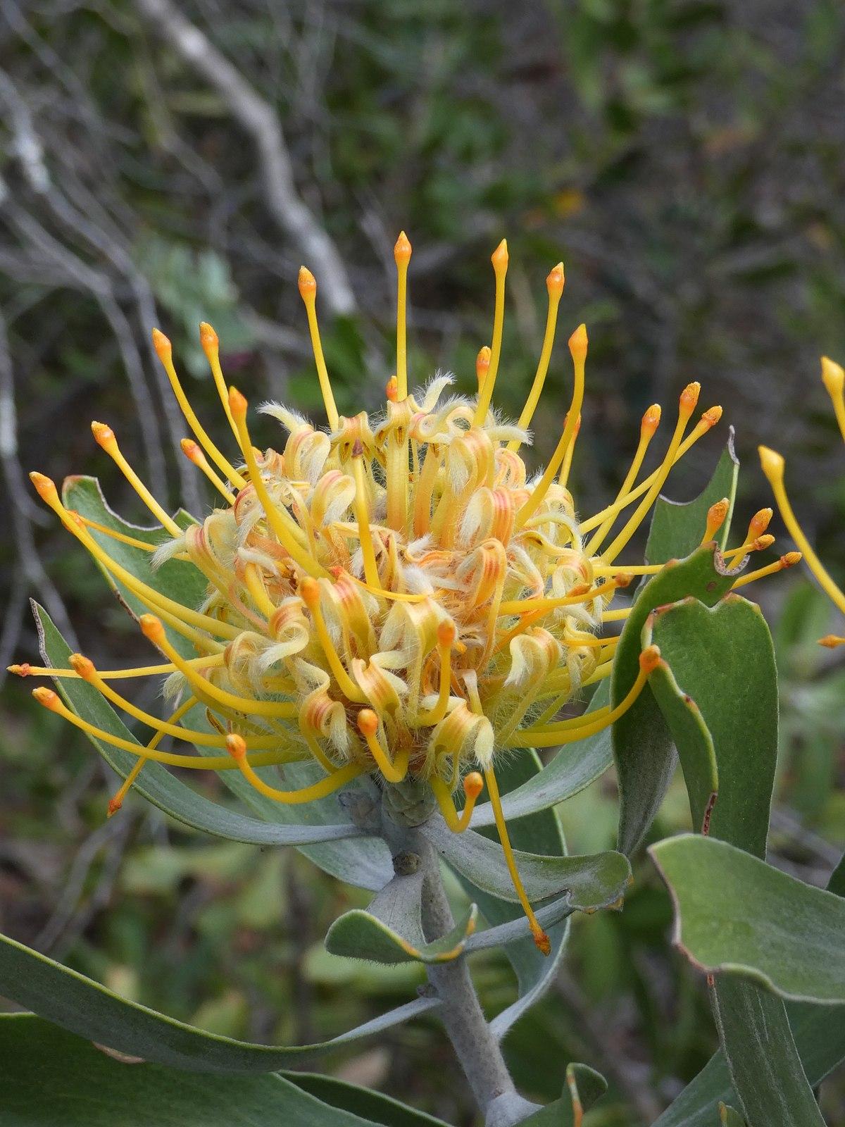 leucospermum cuneiforme wikipedia