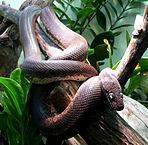 Savu Python