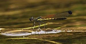 Libellago lineata male-Kadavoor-2015-08-21-001.jpg