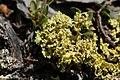 Lichen (20594640531).jpg