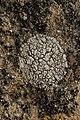 Lichen (42297825574).jpg