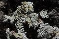 Lichen (42369121680).jpg