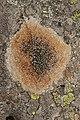 Lichen (44286261311).jpg