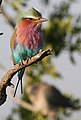 Lilac-breasted Roller, Coracias caudatus at at Mapungubwe National Park, Limpopo, South Africa (17844187840).jpg