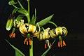 Lilium ciliatum (1).jpg