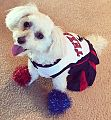 Lily, the Maltipoo, dressed in her Halloween costume..jpg
