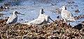 Limosa lapponica-4birds.jpg