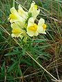 Linaria vulgaris 2009.JPG