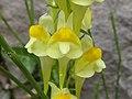 Linaria vulgaris Piazzo 03.jpg