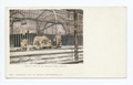 Lincoln Park, Lions in the Zoo, Chicago, Ill (NYPL b12647398-62293).tiff