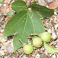Lindera triloba (fruits s18).jpg