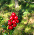 Lingonberries (3085571648).jpg