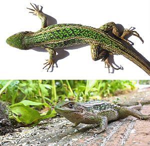 Liolaemus chiliensis - Image: Liolaemus Chiliensis
