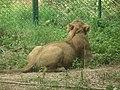 Lion from Bannerghatta National Park 8480.JPG
