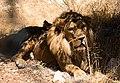 Lion in Al Ma'wa for Nature and Wildlife (Sultan).jpg