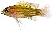 Lipogramma trilineatum, Adult (Threeline Basslet)