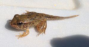 Southern leopard frog - Image: Lithobates sphenocephalus metamorph