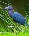 Little Blue Heron Bayou Sauvage La (28923989).jpeg