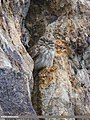 Little Owl (Athene noctua) (43170209602).jpg