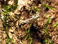 Little Parasitic Wasp (28193026024).jpg
