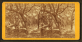 Live oaks in Magnolia Cemetery, Charleston, S.C, by S. T. Souder.png