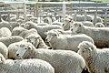 Livestock15.tif (38844806102).jpg