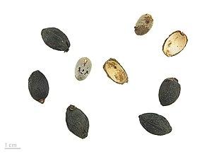 Livistona chinensis - Livistona chinensis - MHNT