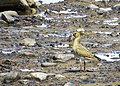 Ljungpipare European Golden Plover (14796051469).jpg