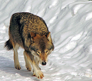 Lobo en Kolmården.jpg