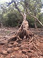 Lonavala fall with tree spreading her root.jpg