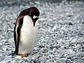 Lonely Penguin (Unsplash).jpg