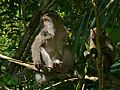 Long-tailed Macaques (Macaca fascicularis) (6761441323).jpg