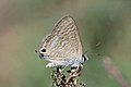 Long-tailed blue (Lampides boeticus) underside Italy.jpg
