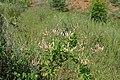 Lonicera caprifolium kz05.jpg