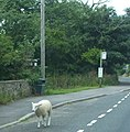 Looking sheepish at the Bus Stop in Wensley - geograph.org.uk - 1412296.jpg
